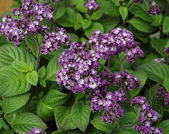"""Cherry Pie Plant - Heliotrope - Extremely Fragrant - Indoors or Out - 4"""" pot"""