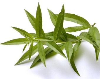 """Lemon Verbena Plant - Perennial Herb - Aloysia - Live Plant - 3"""" Pot"""