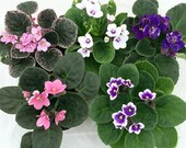 Hirt 39 s Novelty African Violet - 4 quot Clay Pot Better Growth - Best Blooming Plant