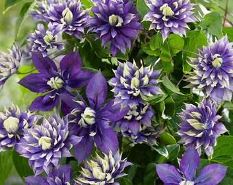"Thompson Clematis Vine Purple /& Scarlet Blooms 2.5/"" Pot Plant Mrs N"