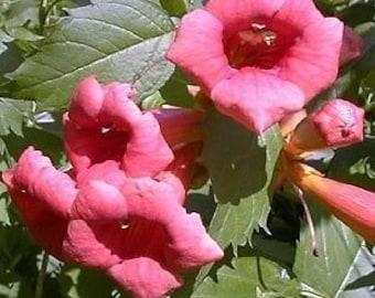 Trumpet vine etsy flamenco trumpet vine campsis 25 pot mightylinksfo