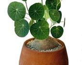 Rare Charlotte 39 s Web Thailand Money Plant - Stephania Erecta - XL Bulb