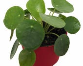 Chinese Money Plant - Pass It On Plant - UFO Plant - Lefsi Plant - Pilea - 4 quot Pot