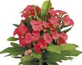 Vulkanus Crown of Thorns - Good Luck Plant - Euphorbia Maxi - 3 quot Pot