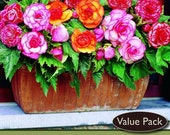 Picotee Bi-Color Begonia Mix 4 Bulbs - Great in Hanging Baskets