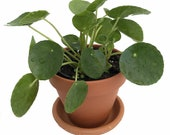 Chinese Money Plant - Pass It On Plant - Pilea peperomioides- 4 quot Clay Pot Saucer