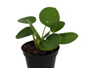 Hirt 39 s Gardens Chinese Money Plant - Pilea peperomiodes - 2.5 quot Pot