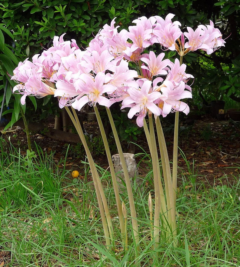 How to Grow Resurrection Lily (Surprise Lily)   Dengarden