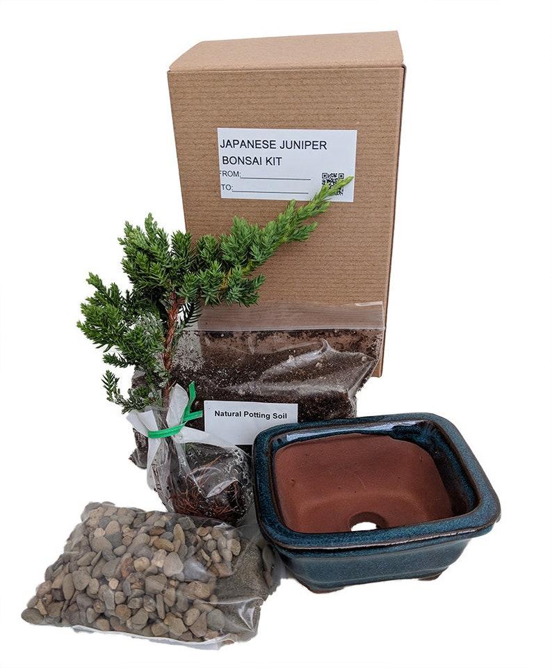 Bonsai Tree Gift Kit plus Live Japanese Juniper Tree  Ceramic image 0