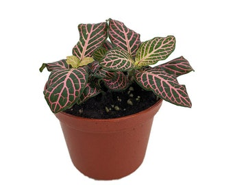 """Mini Pink Veined Nerve Plant - Fittonia - Easy House Plant - 2.5"""" Pot"""