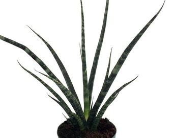 "Fernwood Mikado Snake Plant - Sanseveria - Almost Impossible to kill - 6"" Pot"
