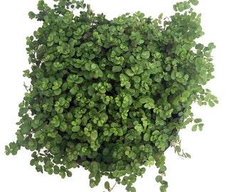 """Baby Tears Plant - 4"""" Pot - Helxine - Terrarium/Fairy Garden/House Plant"""