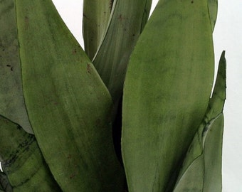 """Moonshine Snake Plant - Sanseveria - Almost Impossible to kill - 4"""" Pot"""