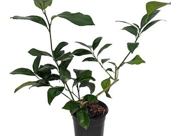 "Meyer Lemon Tree - 5"" Pot - No Shipping to Tx,Fl,Az,Ca,La,Hi"