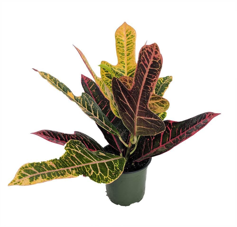 "Picture of Live Croton AFD-7 aka Codiaeum variegatum AFD-7 Plant Fit 4"" Pot"