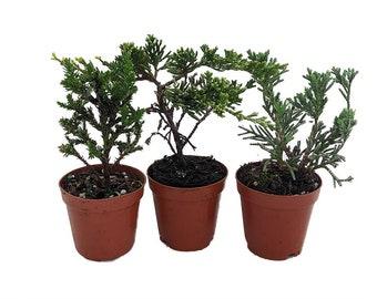 "Zen Living Bonsai Assortment - 3 Plants 2"" Pots"