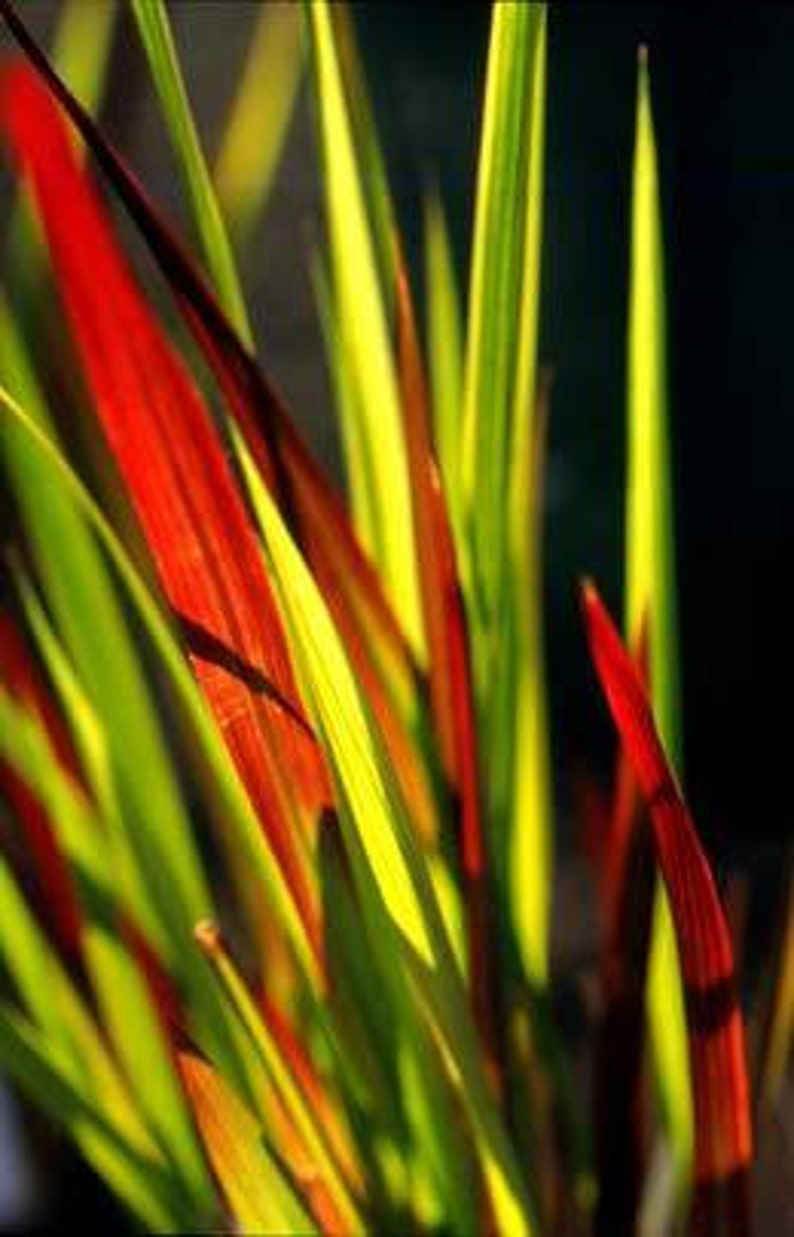 japanese blood grass imperata cylindrica red baron  etsy