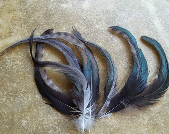 cruelty free feathers - 7 extra long tail feathers 8-11.5 inches long, shiny black and white, (m41)