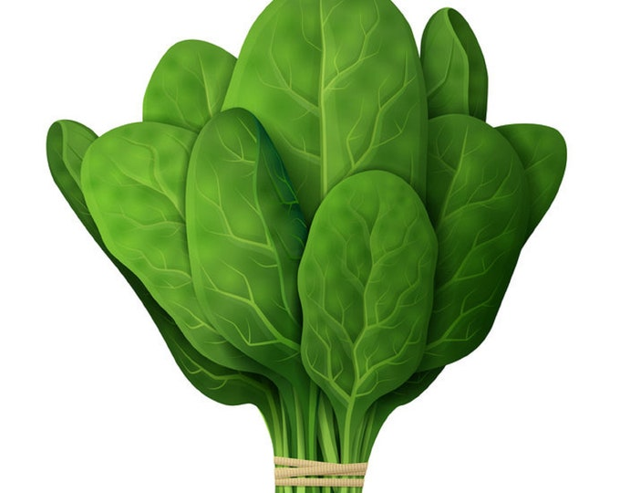 Spinach Noble Giant Nobel Non GMO Heirloom Vegetable Seeds Sow No GMO® USA
