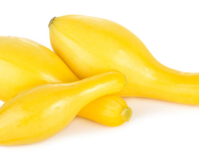 Squash Summer Crookneck Golden Non GMO Heirloom Vegetable Seeds Sow No GMO® USA