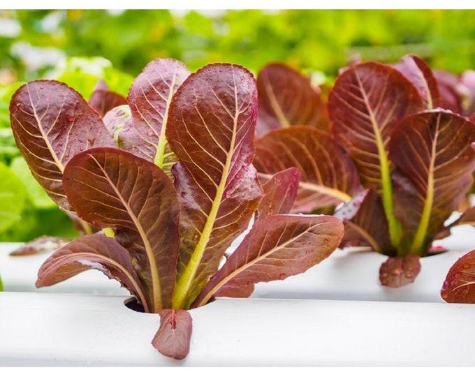 Lettuce Romaine Red / Cimmaron Non GMO Heirloom Vegetable Seeds Sow No GMO®