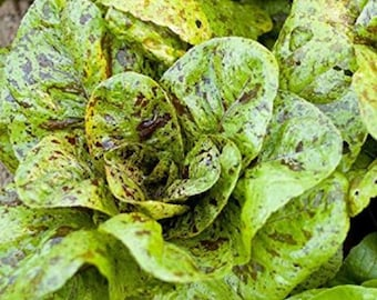 Lettuce Romaine Freckles Non GMO Heirloom Vegetable Seeds Sow No GMO®