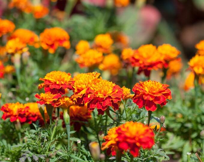 Marigold French Sparky Mix Non GMO Heirloom Flower Seeds Sow No GMO® USA