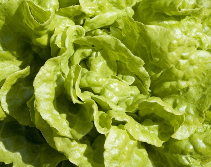 Lettuce Black Seeded Simpson Non GMO Heirloom Vegetable Seeds Sow No GMO® USA