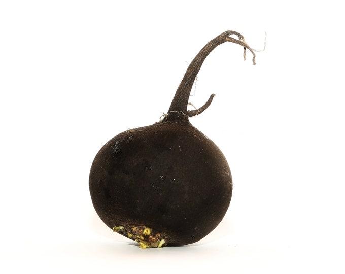 Radish Black Spanish Round Non GMO Heirloom Vegetable Seeds Sow No GMO® USA