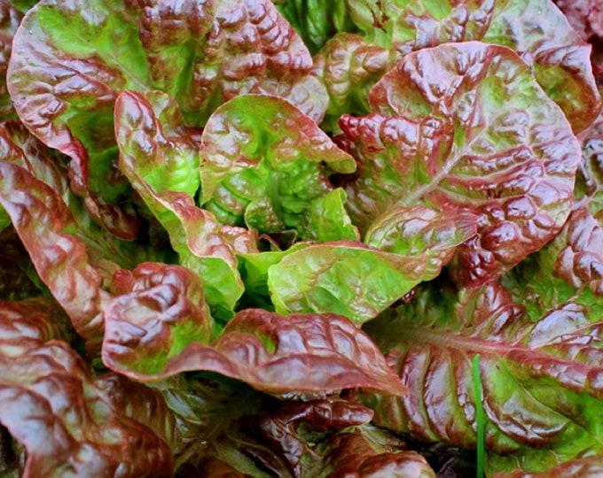 Lettuce Prizehead Non GMO Heirloom Garden Vegetable Seeds Sow No GMO® USA