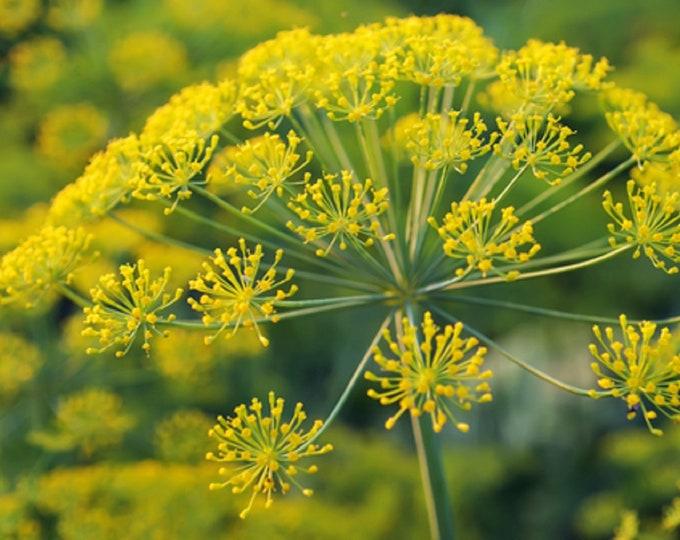 Dill Long Island Mammoth Herb Non GMO Heirloom Garden Herb Seeds Sow No GMO® USA