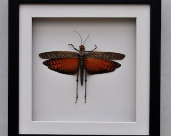 LARGE GRASS HOPPER displaying its wings in a box frame