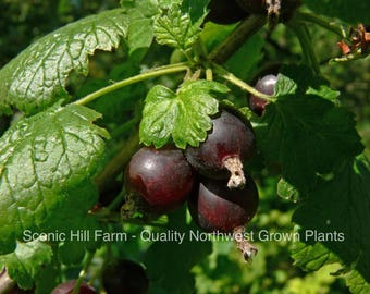 1 Jostine Plant- Thornless! Black Currant and Gooseberry Cross