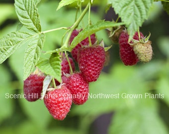 Plant a 5 Foot Row of Summit Heirloom Thornless Everbearing Red Raspberry Rootstock