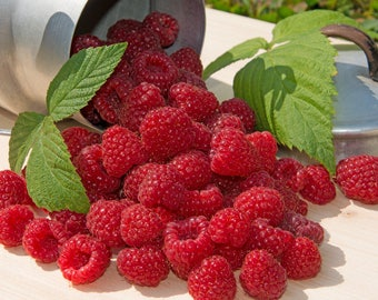 2 Live Cascade Delight Potted Red Raspberry Plants