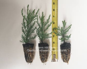 "3 Giant Sequoia Trees - California Redwood - Potted - 3"" - 5"" Tall Seedlings"