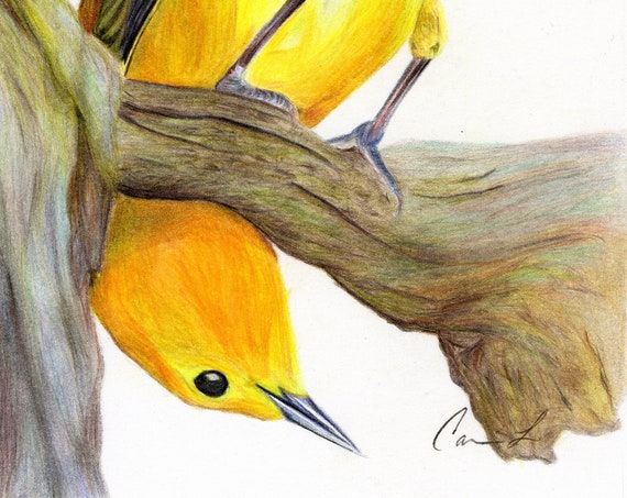 Coucou! - high quality, archival print of a goldfinch drawing