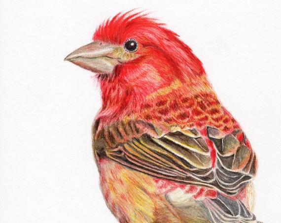 Regal Purple Finch - high quality, archival print