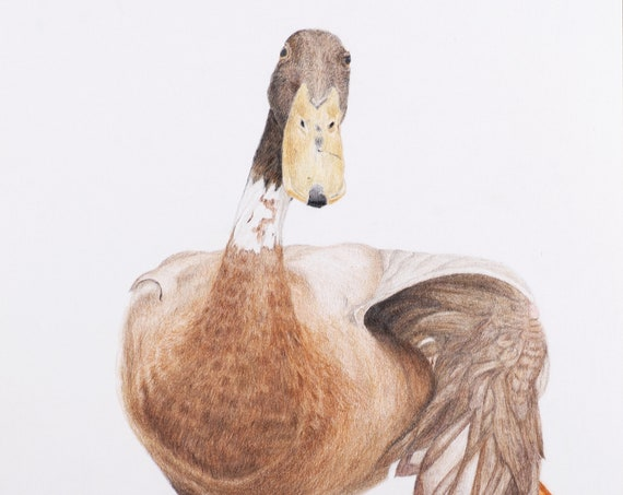 Indian runner duck - Original colored pencil drawing