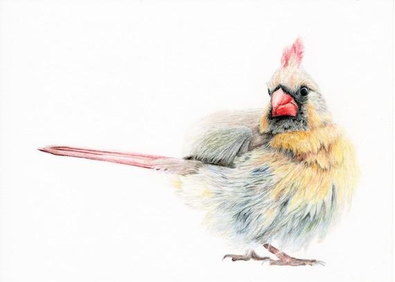 Cardinal - Original colored pencil drawing - Dessin original d'un cardinal