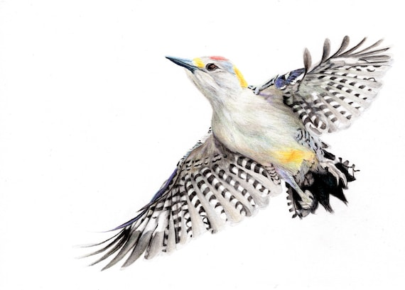 Golden Fronted Woodpecker - Original colored pencil drawing - Dessin original