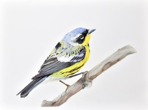 Magnolia warbler - high quality, archival print