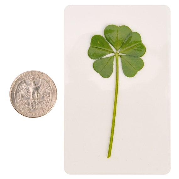 Amuleto De La Suerte De Trébol De 5 Hojas 5 Real Genuino Etsy