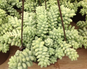 Succulent plant, Donkey Tail, Beautiful trailing plant great in your favorite hanging planter.