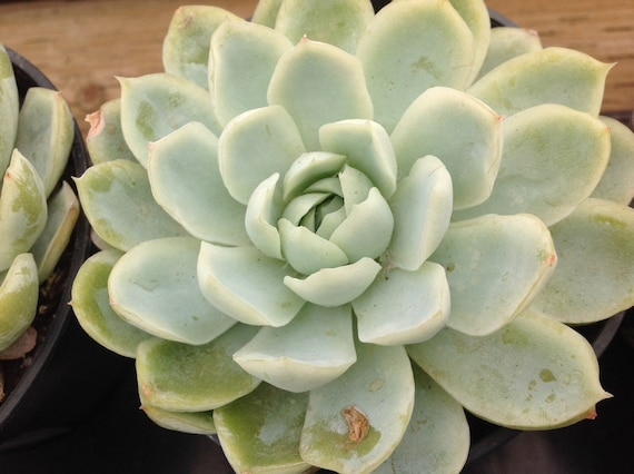 Succulent plant echeveria elegans mexican snowball produces etsy image 0 mightylinksfo
