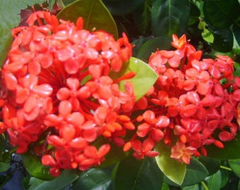 SUPER KING Tropical Ixora Live Plant Flowering Shrub Large ...