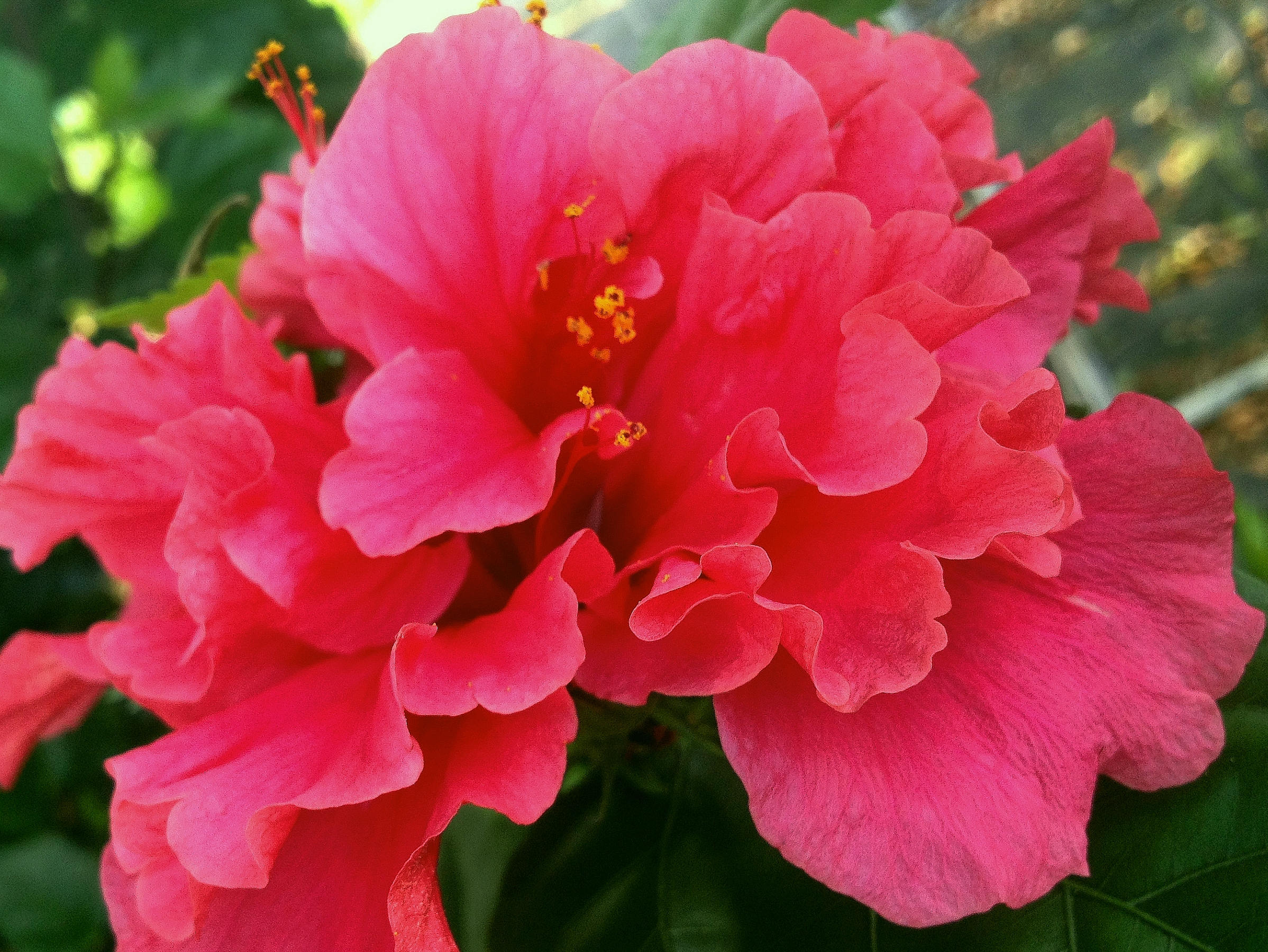 Pride Of Hankins Bush Tropical Hibiscus Plant Triple Hot Etsy
