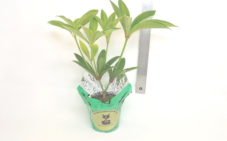 4 Inch Pot Plant Emerald tm MALAYSIAN GRAPE ORCHID Unusual Live Tropical Plant Pink Flower Purple Ornamental Inedible Berry Starter Size 1