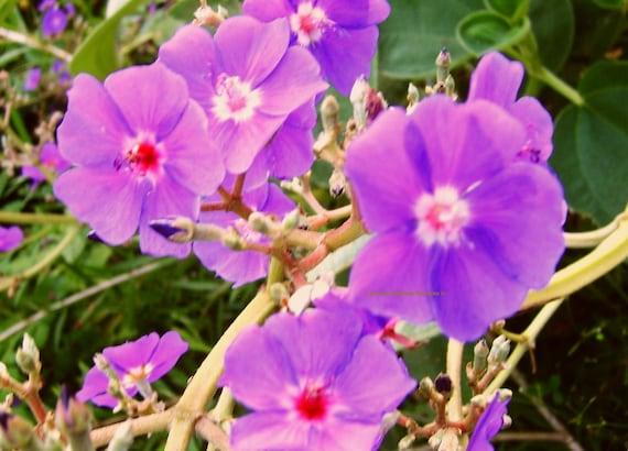SILVER LEAF TIBOUCHINA Princess Flower Rare Unique Tropical Plant Purple  Blue Flower Late Summer Bloom Starter Size 4 Inch Pot Emerald Tm