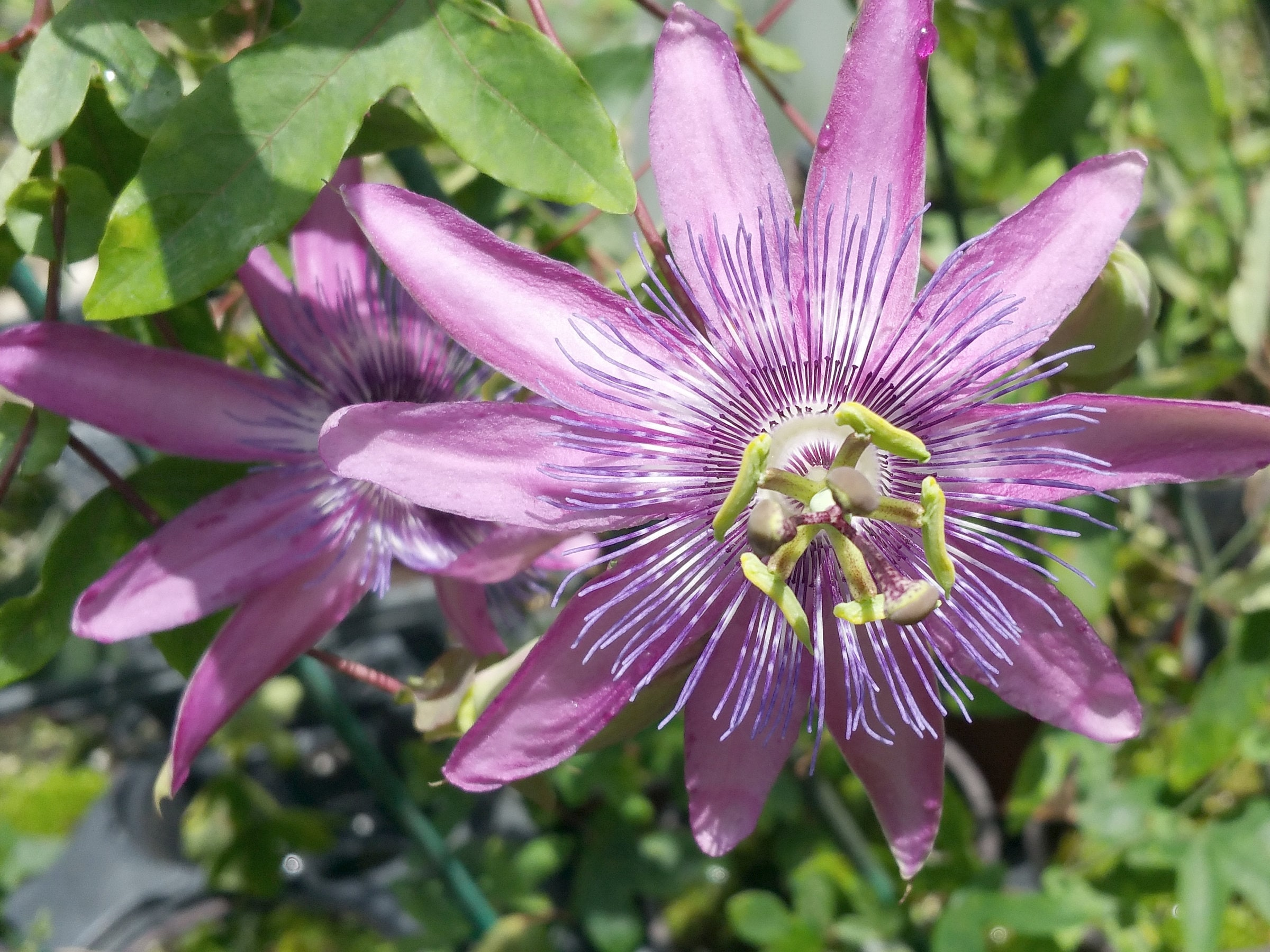 Blue Bouquet Passion Flower Vine Live Plant Passiflora Caerula Etsy
